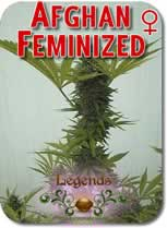 Legends_Afghan_Feminized_Seeds