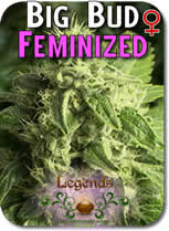 Legends_Big_Bud_Feminized_Seeds