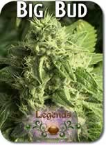 Legends_Big_Bud_Seeds