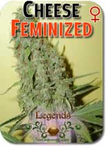 Legends_Cheese_Feminized_Seeds