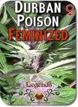 Legends_Durban_Poison_Feminized_Seeds