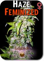 Legends_Haze_Feminized_Seeds