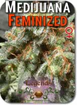 Legends_Medijuana_Feminized_Seeds