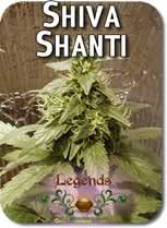 Legends_Shiva_Shanti_Seeds