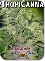 Legends_TropiCanna_Seeds