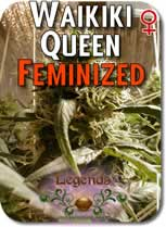 Legends_Waikiki_Queen_Feminized_Seeds