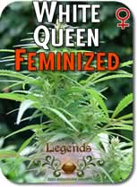 Legends_White_Queen_Feminized_Seeds