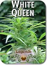Legends_White_Queen_Seeds
